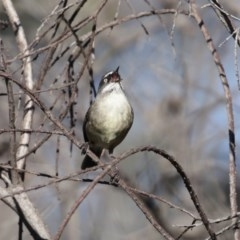 Sericornis frontalis (White-browed Scrubwren) at Jerrabomberra Wetlands - 24 Jul 2020 by RodDeb