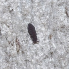 Hypogastrura sp. (genus) (A Springtail) at ANBG - 7 Jul 2020 by TimL