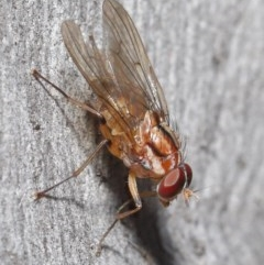 Muscidae sp. (family) (Unidentified muscid fly) at ANBG - 7 Jul 2020 by TimL