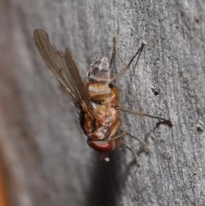 Muscidae sp. (family) at ANBG - 7 Jul 2020
