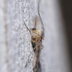 Chironomidae sp. (family) at ANBG - 3 Jul 2020