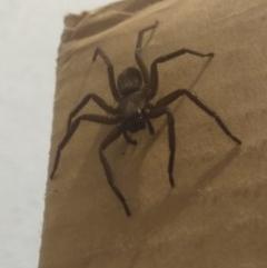 Gnaphosidae or Trochanteriidae (families) (Flat spider) at Greenleigh, NSW - 25 Jul 2020 by LyndalT