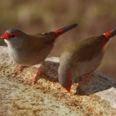 Neochmia temporalis (Red-browed Finch) at Black Range, NSW - 25 Jul 2020 by AndrewMcCutcheon