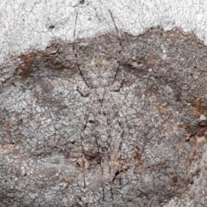 Tamopsis sp. (genus) at ANBG - 3 Jul 2020