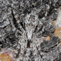 Tamopsis sp. (genus) (Two-tailed spider) at ANBG - 3 Jul 2020 by TimL