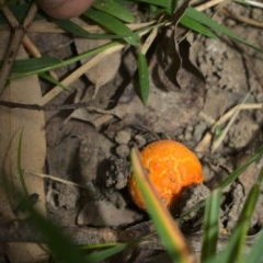 Unidentified Fungus, Moss, Liverwort, etc (TBC) at Clyde River Retreat - 20 Jun 2020 by ClydeRiver