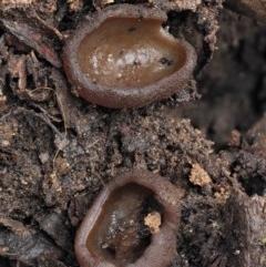 Aleurina sp. at Namadgi National Park - 23 Jun 2020 by KenT
