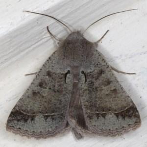 Pantydia (genus) at Ainslie, ACT - 25 Jul 2020