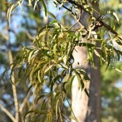 Amyema pendula subsp. pendula (Drooping Mistletoe) at Garrads Reserve Narrawallee - 1 Jun 2020 by Nicholas de Jong