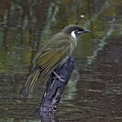 Meliphaga lewinii (Lewin's Honeyeater) at Brogo, NSW - 28 Jul 2020 by MaxCampbell