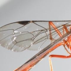 Netelia sp. (genus) at Ainslie, ACT - 25 Jul 2020
