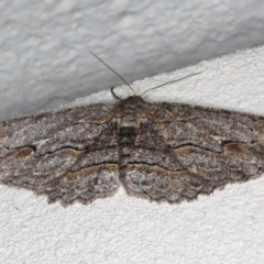 Ectropis (genus) (An engrailed moth) at Ainslie, ACT - 25 Jul 2020 by jbromilow50