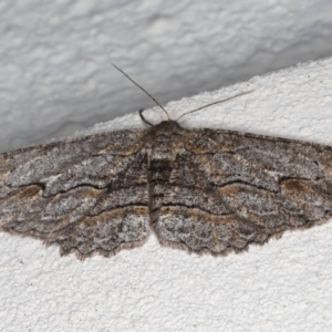 Ectropis (genus) at Ainslie, ACT - 25 Jul 2020