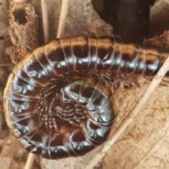 Diplopoda sp. (class) (Unidentified millipede) at Stirling, ACT - 28 Jul 2020 by tpreston