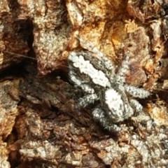 Clynotis severus (Stern Jumping Spider) at Stirling, ACT - 28 Jul 2020 by tpreston