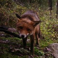 Vulpes vulpes (Red Fox) at Tuggeranong DC, ACT - 27 Jul 2020 by ChrisHolder