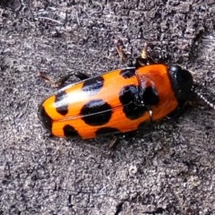 Episcaphula australis (Fungus beetle) at Woodstock Nature Reserve - 28 Jul 2020 by Kurt
