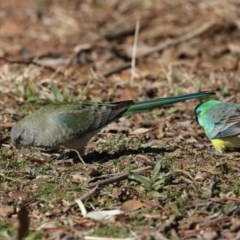 Psephotus haematonotus (Red-rumped Parrot) at Jerrabomberra Wetlands - 24 Jul 2020 by jbromilow50