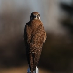 Falco berigora (Brown Falcon) at Jerrabomberra Wetlands - 23 Jul 2020 by jbromilow50