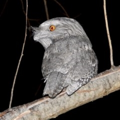Podargus strigoides (Tawny Frogmouth) at Wodonga - 28 May 2020 by WingsToWander