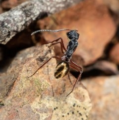 Camponotus suffusus (Golden-tailed sugar ant) at ANBG - 29 Jul 2020 by Roger