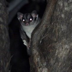 Petaurus norfolcensis (Squirrel Glider) at Bells Travelling Stock Reserve - 20 Jul 2020 by WingsToWander