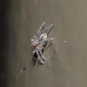Prostheclina sp (genus) at Acton, ACT - 28 Jul 2020
