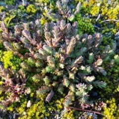 Crassula sieberiana (Austral Crassula) at O'Connor, ACT - 29 Jul 2020 by tpreston