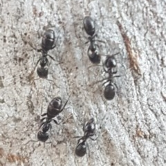 Anonychomyrma sp. (genus) (Black Cocktail Ant) at Black Mountain - 29 Jul 2020 by tpreston