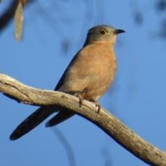 Cacomantis flabelliformis (Fan-tailed Cuckoo) at Rugosa at Yass River - 29 Jul 2020 by SenexRugosus