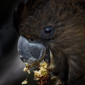 Calyptorhynchus lathami at One Track For All - 28 Jul 2020