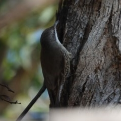 Cormobates leucophaea (White-throated Treecreeper) at Black Range, NSW - 29 Jul 2020 by AndrewMcCutcheon
