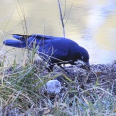 Corvus coronoides (Australian Raven) at Lake Tuggeranong - 29 Jul 2020 by Alison Milton