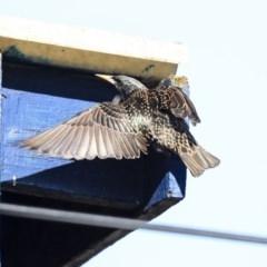 Sturnus vulgaris (Common Starling) at Higgins, ACT - 27 Jul 2020 by AlisonMilton