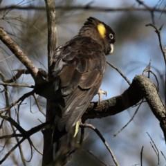 Calyptorhynchus funereus (Yellow-tailed Black-Cockatoo) at Mount Ainslie - 15 Jul 2020 by jbromilow50