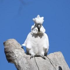 Cacatua galerita (Sulphur-crested Cockatoo) at Mount Ainslie - 15 Jul 2020 by jbromilow50