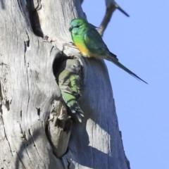 Psephotus haematonotus (Red-rumped Parrot) at Jerrabomberra Wetlands - 19 Jul 2020 by Alison Milton