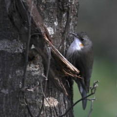 Cormobates leucophaea (White-throated Treecreeper) at Mount Ainslie - 15 Jul 2020 by jbromilow50