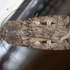 Agrotis infusa (Bogong Moth, Common Cutworm) at Ainslie, ACT - 15 Jul 2020 by jbromilow50