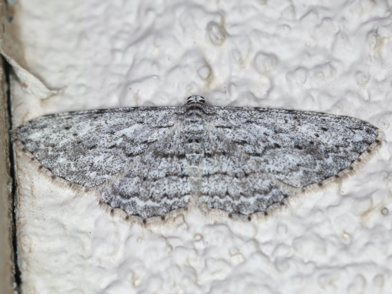 Phelotis cognata at Ainslie, ACT - 15 Jul 2020