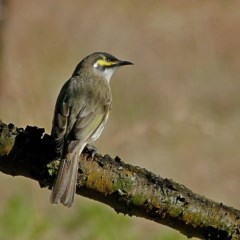 Caligavis chrysops (Yellow-faced Honeyeater) at Brogo, NSW - 29 Jul 2020 by MaxCampbell