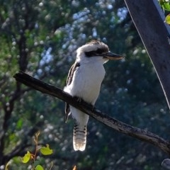 Dacelo novaeguineae (Laughing Kookaburra) at Aranda, ACT - 30 Jul 2020 by Kurt