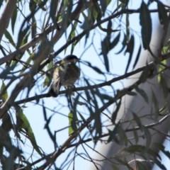 Nesoptilotis leucotis (White-eared Honeyeater) at Namadgi National Park - 29 Jul 2020 by RodDeb