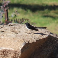 Rhipidura leucophrys (Willie Wagtail) at Namadgi National Park - 29 Jul 2020 by RodDeb