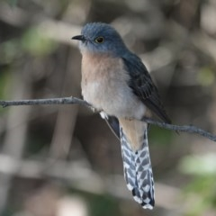 Cacomantis flabelliformis (Fan-tailed Cuckoo) at Black Range, NSW - 29 Jul 2020 by AndrewMcCutcheon