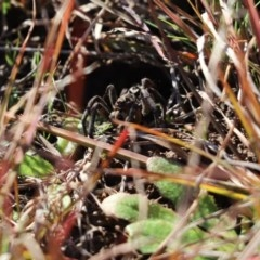 Lycosidae sp. (family) (Unidentified wolf spider) at Mount Painter - 30 Jul 2020 by Tammy