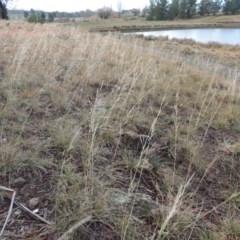 Austrostipa bigeniculata (Kneed Speargrass) at Nimmitabel, NSW - 15 Jul 2020 by michaelb