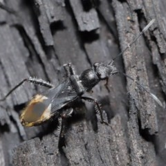 Daerlac nigricans (Ant Mimicking Seedbug) at ANBG - 28 Jul 2020 by TimL
