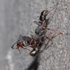 Rhytidoponera metallica (Greenhead ant) at ANBG - 28 Jul 2020 by TimL