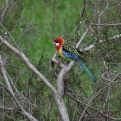 Platycercus eximius (Eastern Rosella) at Albury - 3 Jul 2020 by ChrisAllen
